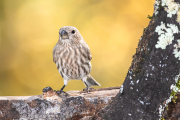 Wall Mural - House Finch Perched on an Autumn Branch