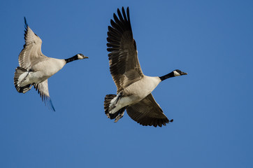 Wall Mural - Pair of Canada Geese Flying in a Blue Sky