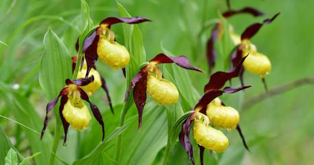 Photo Blinds Orchid Europäischer Frauenschuh