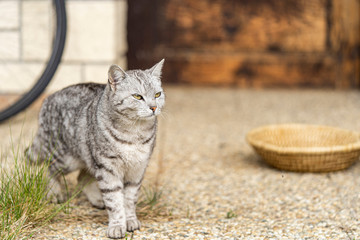 Portrait of tabby cat outdoors. Domestic cat walking over rustic courtyard.