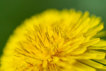 Macro view of beautiful yellow dandelion flower on a green background.