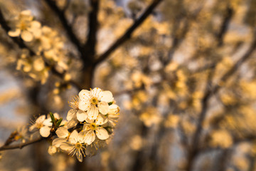 Beautiful tender tree blossom in morning purple sun light, floral background, spring blooming flowers.