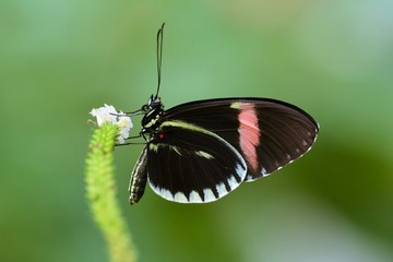 Foto auf Leinwand Schmetterling Postman butterfly on flower close up photo
