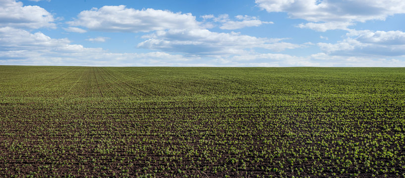 Fresh green soybean sprouts on the field in spring, month from planting, selective focus