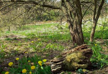 Stary pień porośnięty mchem z drzewami w tle