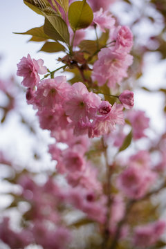 Flowering almonds three-bladed. Tree branches with pink flowers
