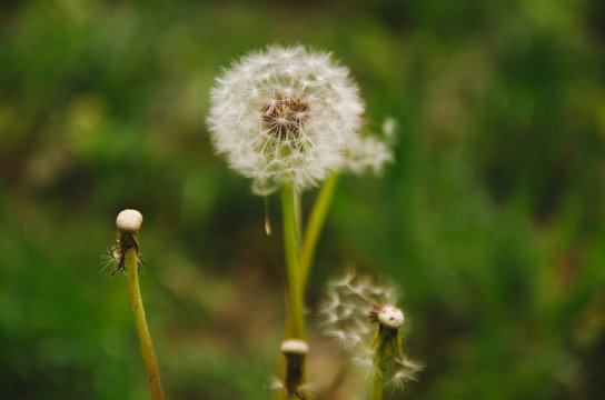 Dandelion grows in the field. Aerial flower