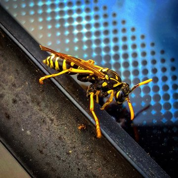 Close-up Of Yellow Jacket On Metal