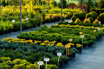 flowering bushes in a tub in a garden center for landscaping, for working with landscaping
