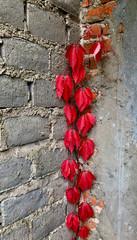 Obraz czerwony bluszcz na murze - fototapety do salonu
