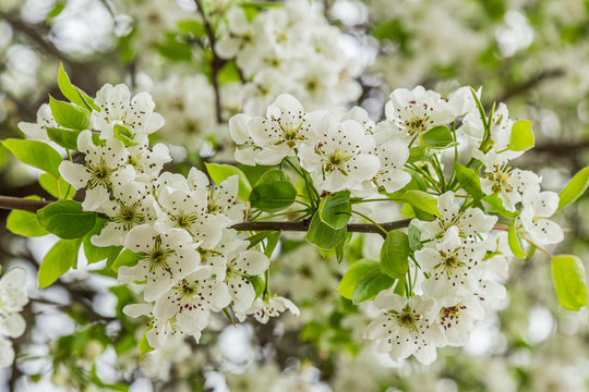 Close up of a flowering pear (Pyrus calleryana). This family of ornamental trees produces white spring blossom and glorious autumn foliage.