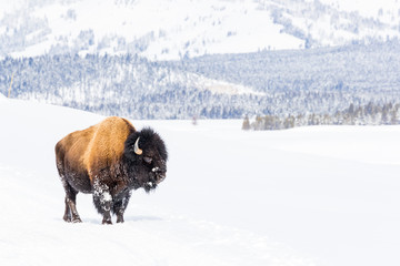 Snowy bison covered in snow in Yellowstone National Parl