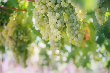 Close-up Of Green Grapes Growing In Vineyard Fototapete