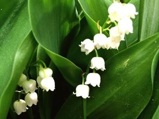 Poster de jardin Muguet de mai Lily Of The Valley