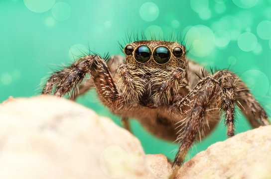 close up of brown eyes jumping spider