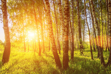 A scene of sunset in a birch forest on a sunny summer evening. Landscape.