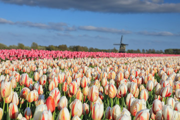 Fototapete - beautiful tulip field and Dutch windmill