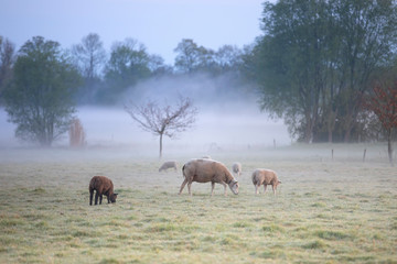 Wall Mural - sheep graze on misty pasture