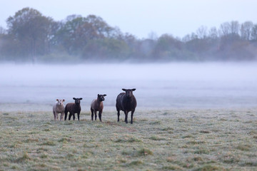 Fototapete - sheep family on foggy pasture in morning