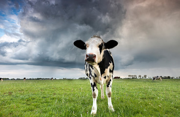 Wall Mural - black and white cow on pasture during storm