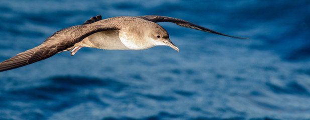 A balearic shearwater (Puffinus mauretanicus) flying in in the Mediterranean Sea and diving to get fish Fotomurales