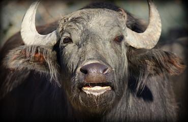 Photo sur Aluminium Buffalo Close-up Of Water Buffalo