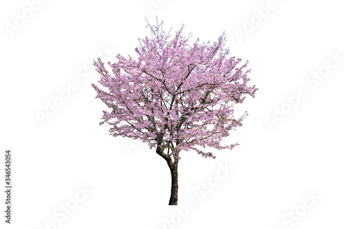 Wall mural Pink flower, Cherry blossoms tree isolated on white background.