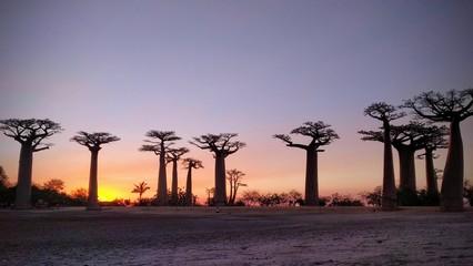 Fotorolgordijn Baobab Avenida de los Baobabs