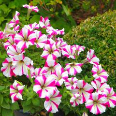 Surfinia rose et blanc