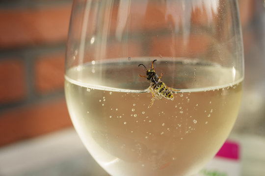 A wasp crawling out of a glass of white wine