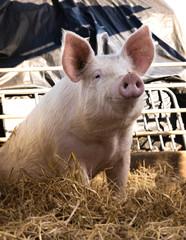 Bio - Schweinehaltung - Jungsau im Hundesitz in einer eingestreuten Aussenbucht.