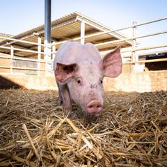 Bio-Schweinehaltung - Einzelnes Schwein in einer mit Stroh ausgelegten Aussenbucht.