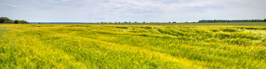 Fototapete - Scenic view of Wheat Field and bright blue sky with cumulus and cirrus. Rural summer Landscape. Beauty nature, Agriculture and seasonal Harvest time. Cultivation cereals. Agribusiness. Panoramic view