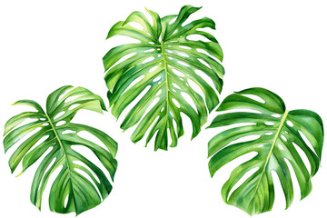 set of monstera leaves on an isolated white background, watercolor hand drawing