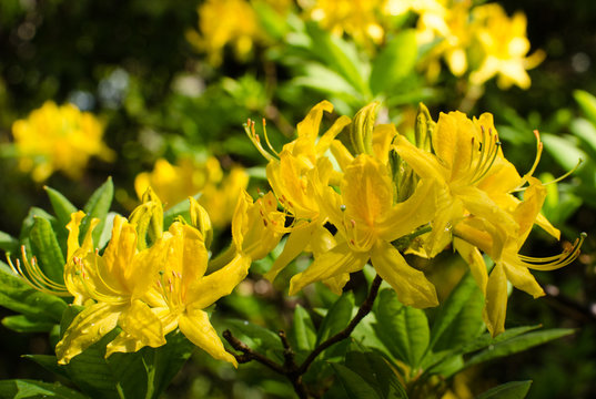 Close-up of clusters of beautiful golden yellow  rhododendron flowers blooming in the springtime.