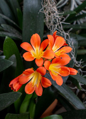 Clivia miniata flower in the garden background. Fresh bunch orange Natal lily or Bush lily flowers with green leaves.