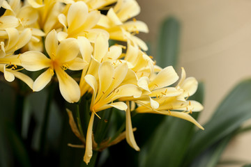 Clivia miniata flower in the garden background. Fresh bunch yellow Natal lily or Bush lily flowers with green leaves.