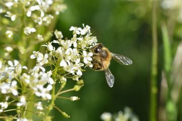 Honey bee collecting nectar on wild white flowers, Honey Bee pollinating wildflowers on meadow