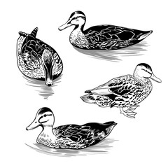 ..A set of different contour images of wild duck females. Clipart. Vector illustration of nature. .