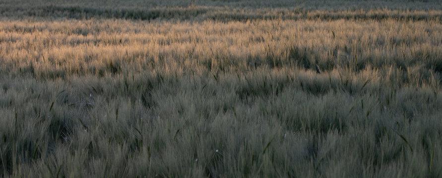 campi di grano in primavera