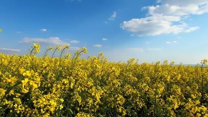 Wall Mural - Beautiful blooming rapeseed field against blue sky