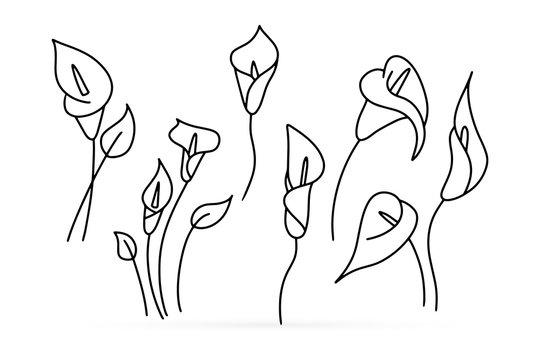 Calla Lily Sketch Photos Royalty Free Images Graphics Vectors Videos Adobe Stock