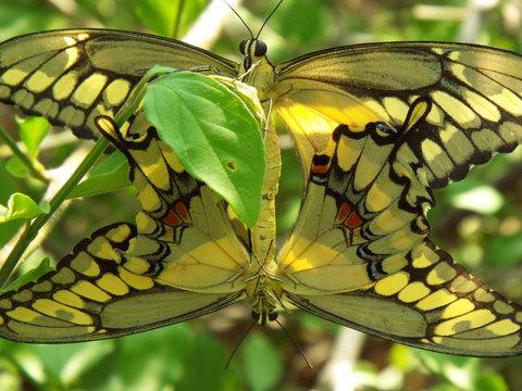 Close-up Of Butterflies Mating