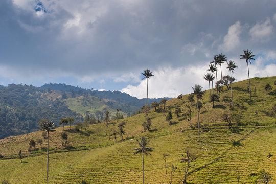 Paisaje con montañas y la única palma de cera de la zona de café de Colombia