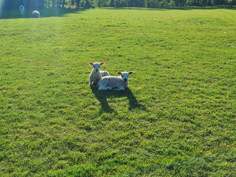 Two lambs lying down together in a field.