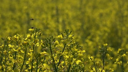 Fototapete - Insects pollination blooming oilseed rape field