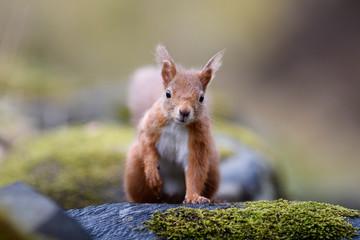 UK, Scotland, Portrait of red squirrel (Sciurus vulgaris) standing outdoors