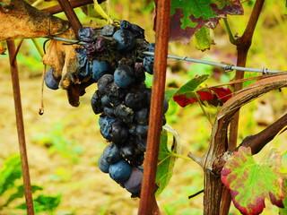 Close-up Of Rotten Grapes At Vineyard Fototapete