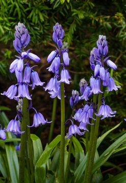 Field of wild flowers in bloom in the spring include delicate Spanish bluebells otherwise known as hyancinth hispanica.
