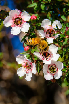Honey bee collecting pollen from pink manuka flowers